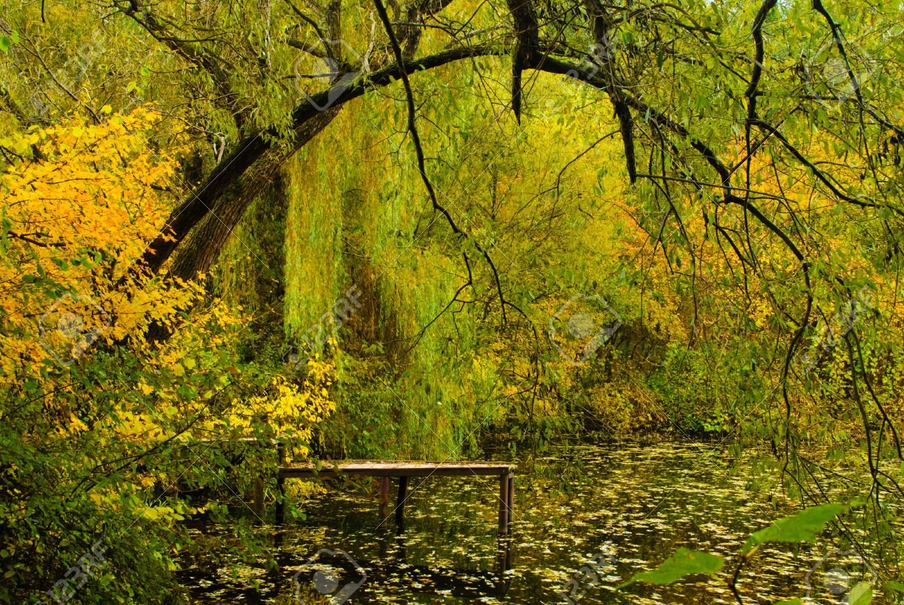 weeping willow trees stock photos images. royalty free weeping, Natural flower