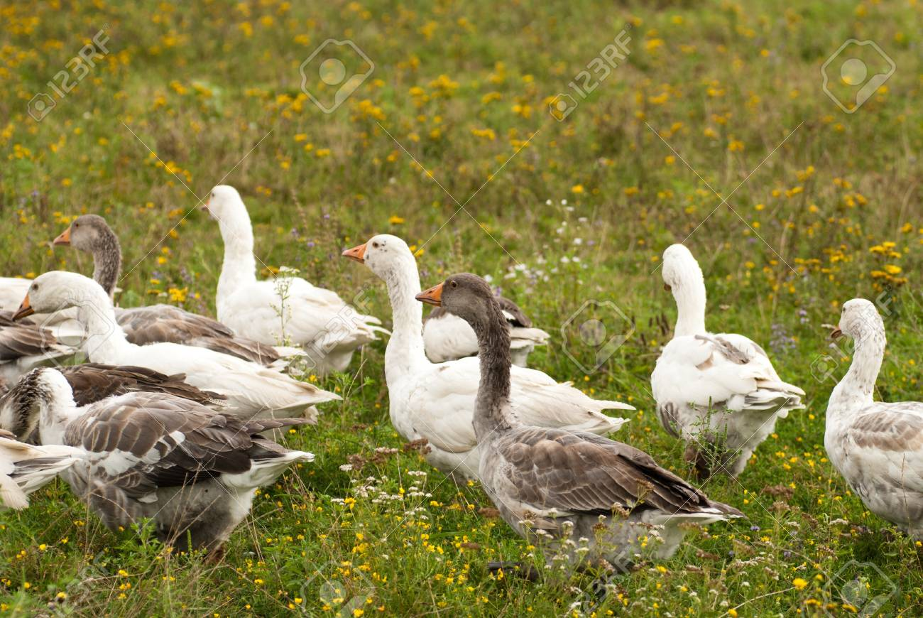 Gooses are grazing on the grass, agriculture Stock Photo - 12030978