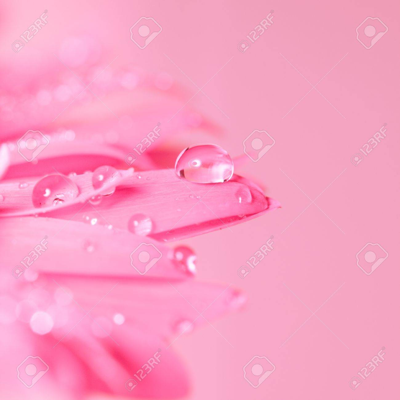 Water Drop On The Pink Flower Close Up Fragility Concept Stock