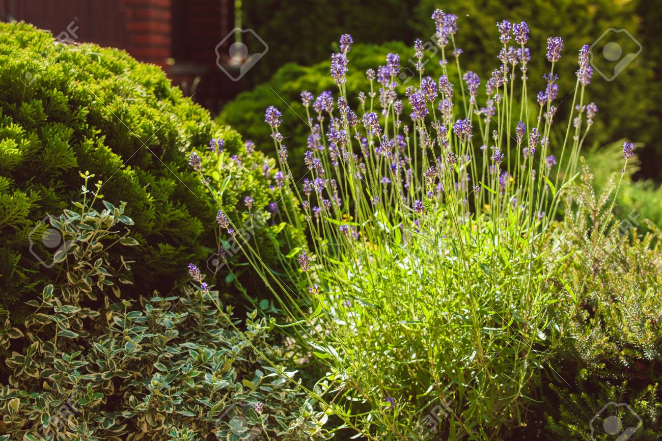 Lavendel Auf Steingarten Mit Felsen Und Immergrünen Pflanzen ...