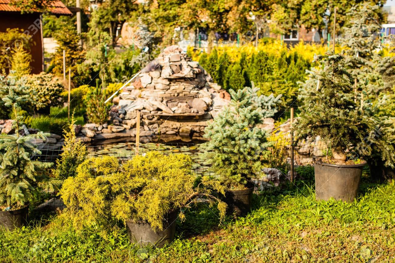 Verschiedene Immergrüne Pflanzen Für Landschaftsbau Und Steingarten ...