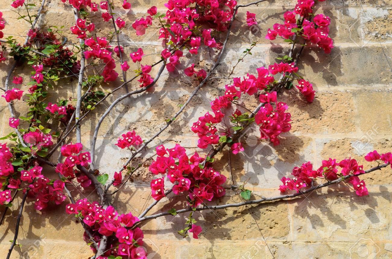Enredadera Está En Las Flores De Color Rosa En La Pared De Piedra Es Fotografiada De Primer Plano En El Soleado Día De Primavera Fotos Retratos Imágenes Y Fotografía De Archivo Libres