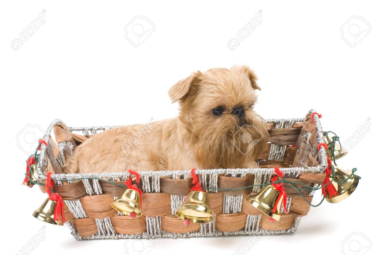 Christmas gift - Griffon Bruxellois Stock Photo - 8135546