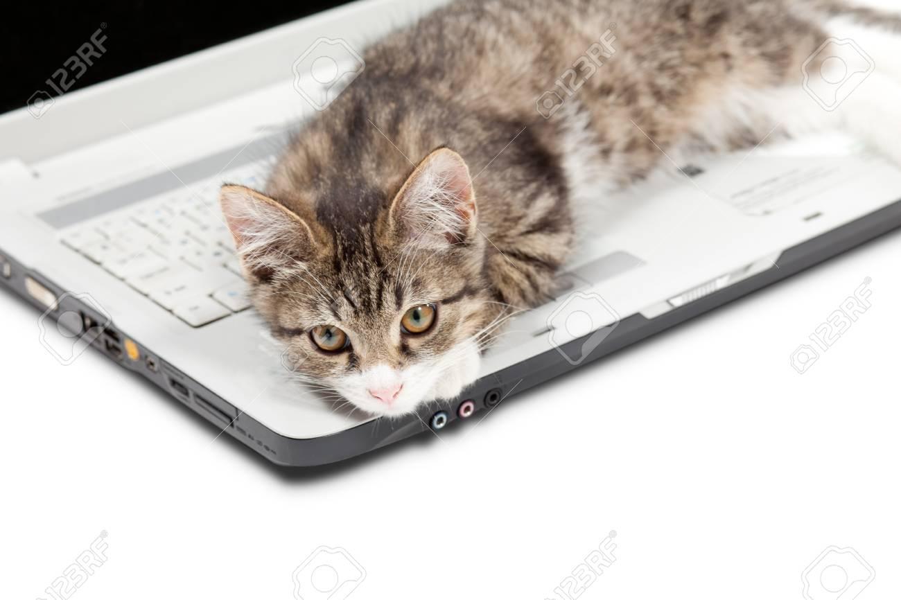 Little tabby kitten lays on a laptop Stock Photo - 10785546
