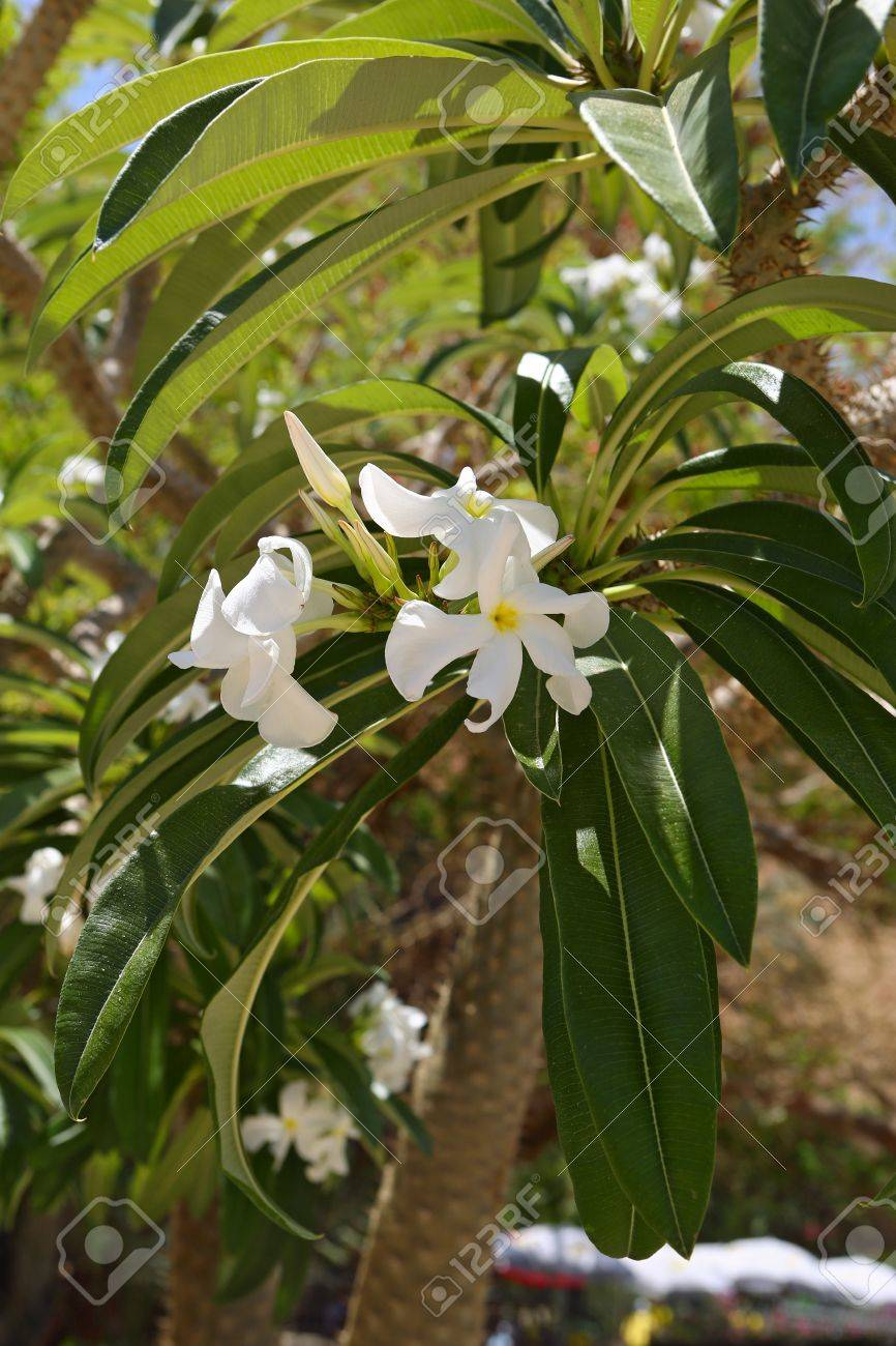 Tropical tree blooming large white flowers israel stock photo stock photo tropical tree blooming large white flowers israel mightylinksfo