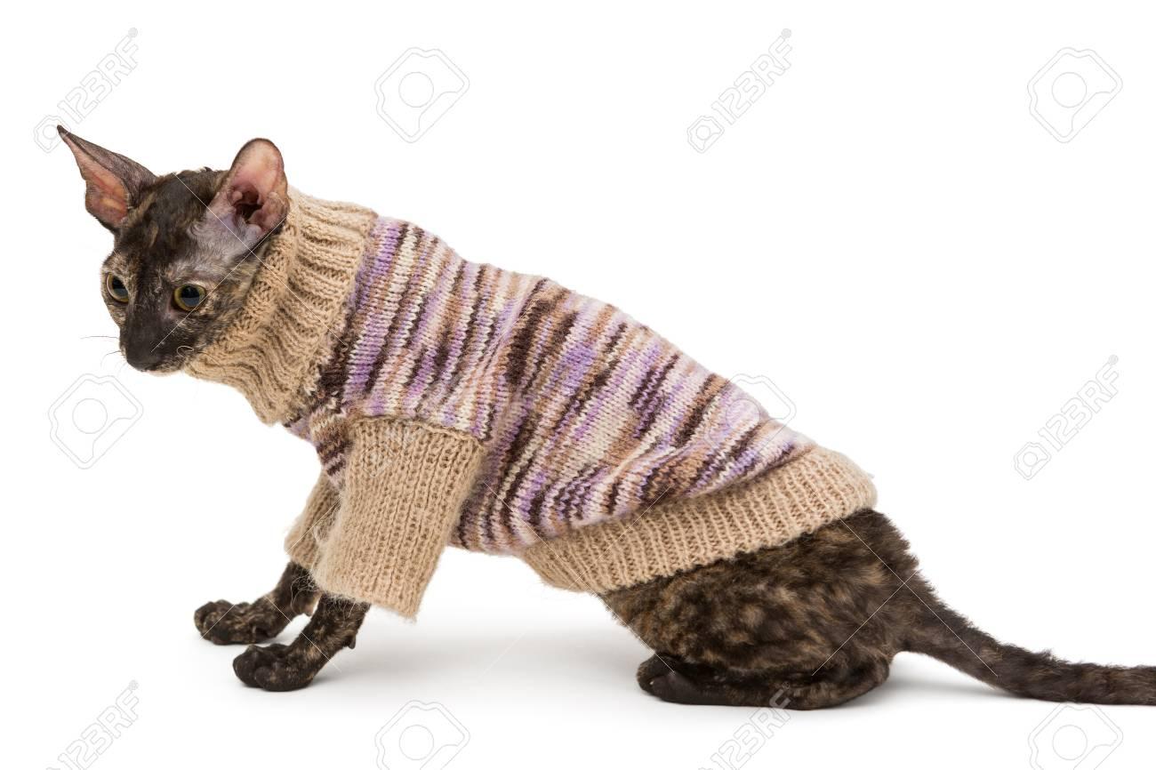 Warme Trui.Kattenras Cornish Rex In Een Warme Trui Geisoleerd Geen Witte