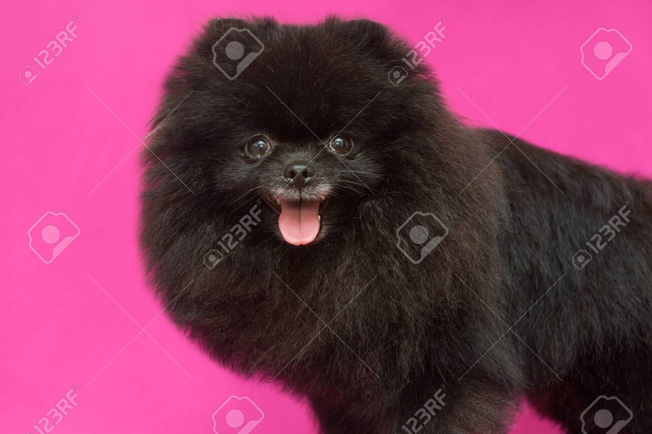 Small Black Pomeranian Puppy On Red Background Stock Photo Picture And Royalty Free Image Image 130749759
