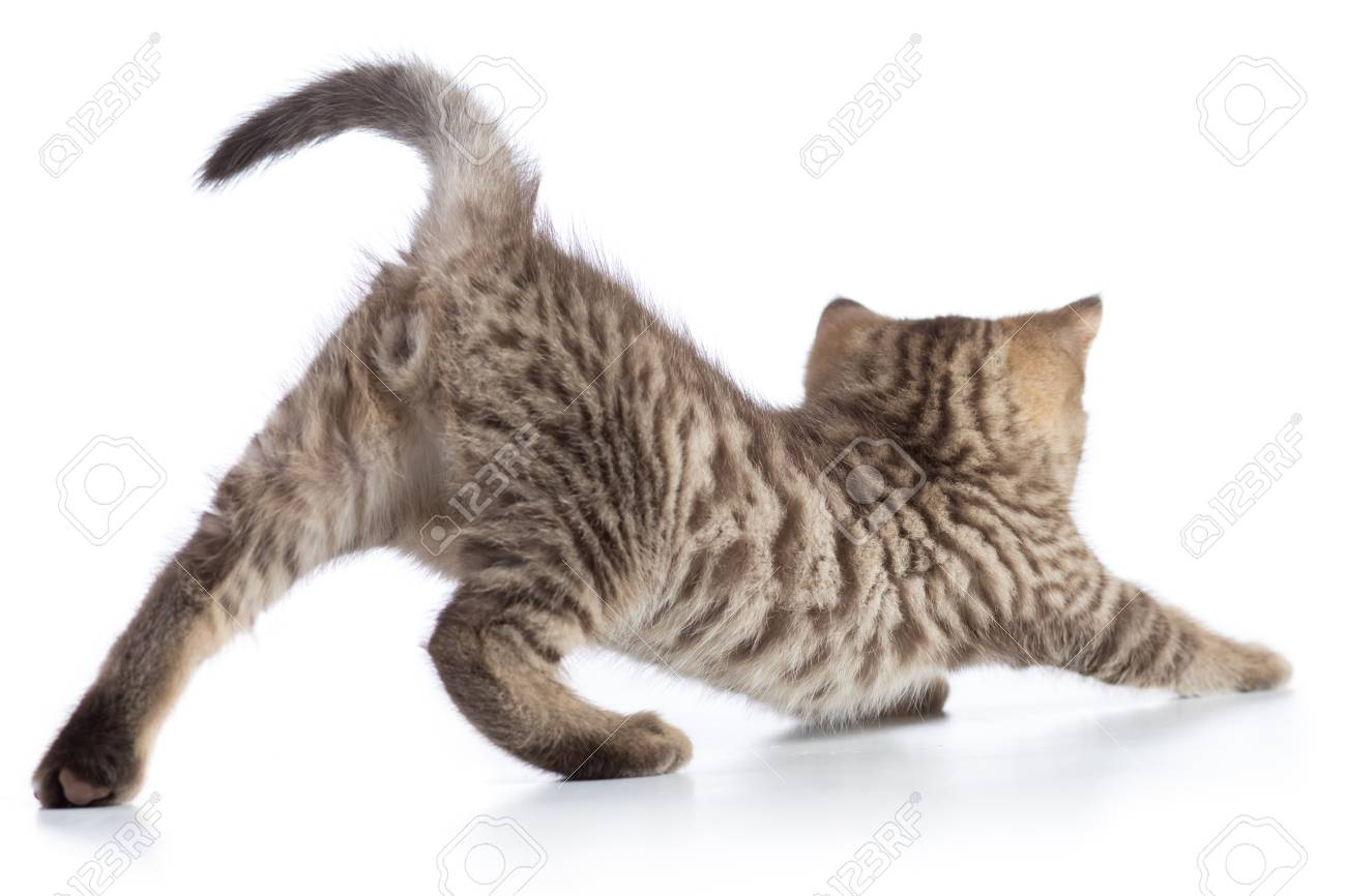 Cute Cat Tabby Kitten Stretching Isolated On White Background