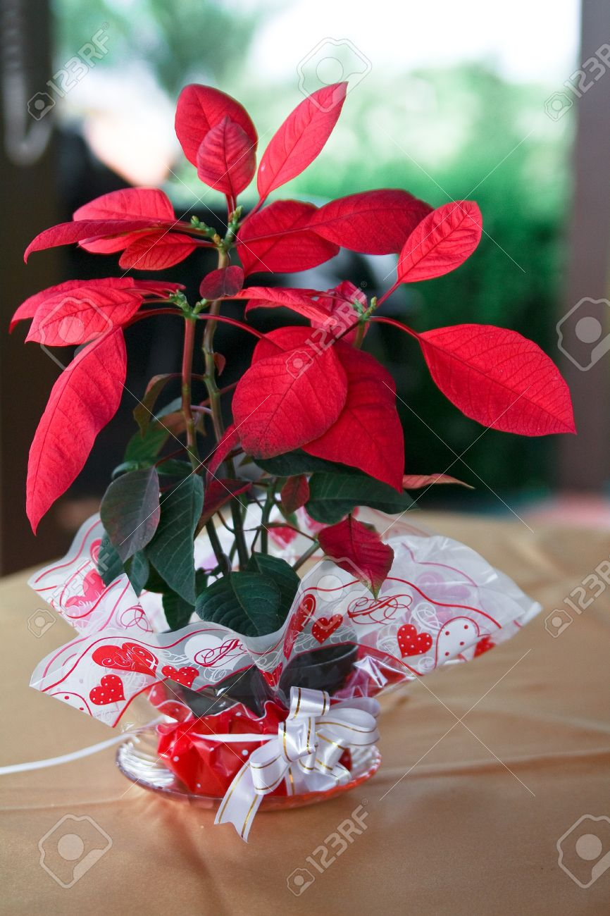 Houseplant Red And Green Leaves on red and green ornamental grass, red and green leaf plant, red and green ground cover,