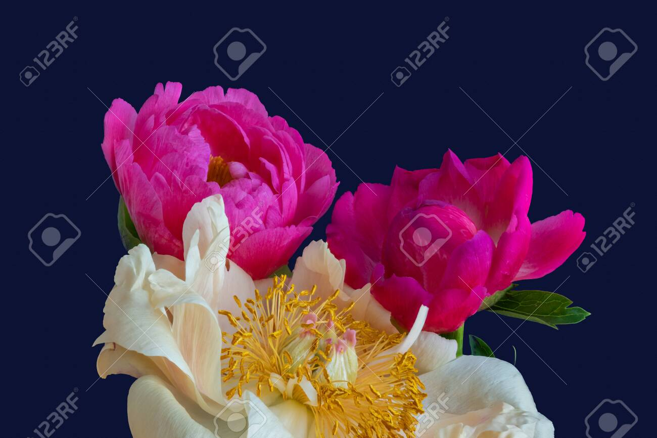 Pink Yellow Orange Peony Bouquet Macro On Blue Background Fine Stock Photo Picture And Royalty Free Image Image 153091195