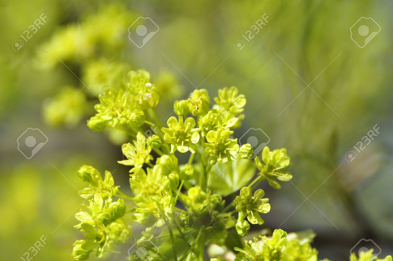 Spring Norway Maple Flowers in Stockholm, Sweden Stock Photo - 7965933