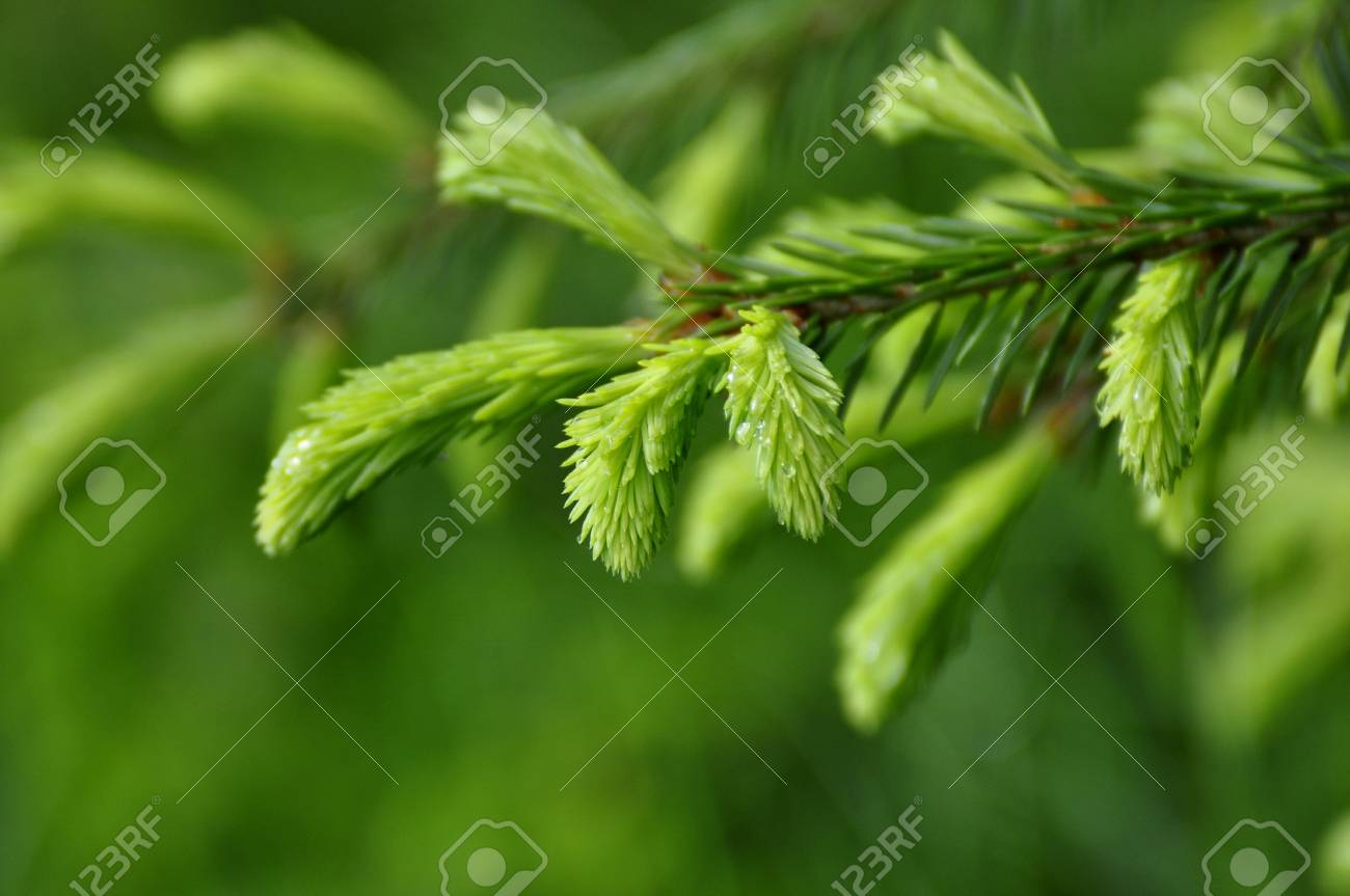 Needles of the Spruce in the Green Forest Stock Photo - 7965941