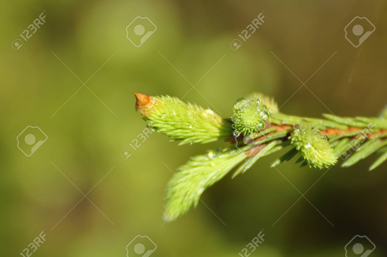 Needles of the Spruce in the Green Forest Stock Photo - 7965934