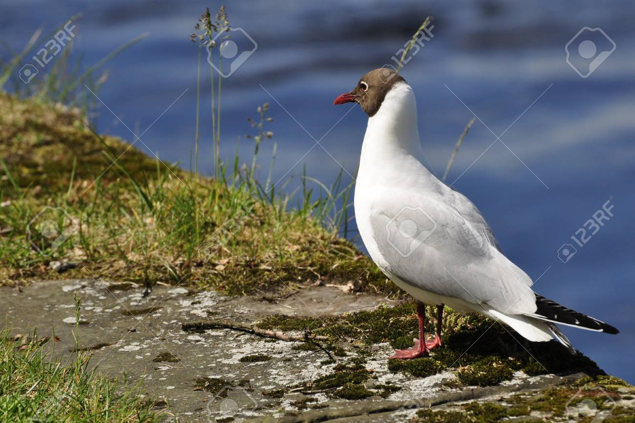 Laughing Gull at the Lake in Karlstad in Sweden Stock Photo - 7965937