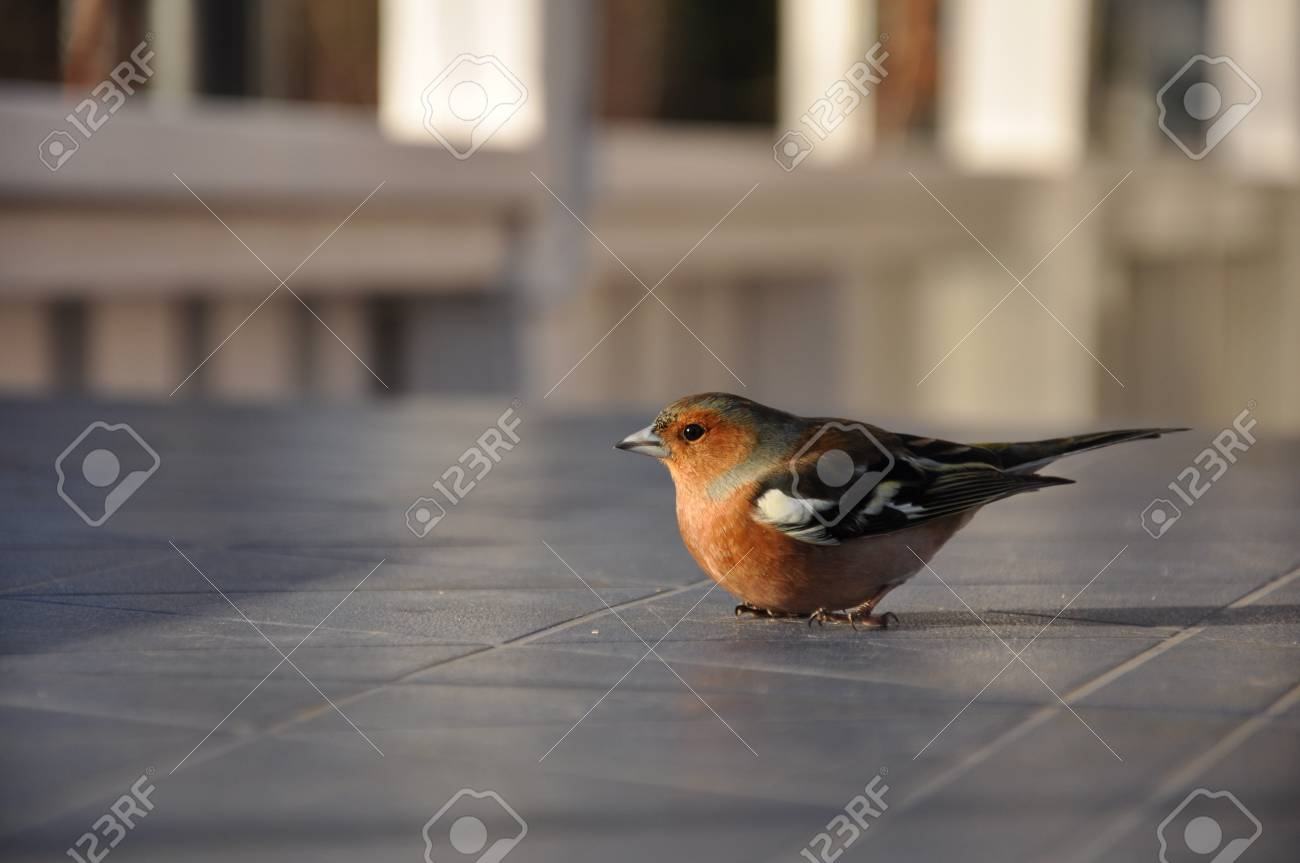 This little chaffinch was recovering on a cabin table in Strandvik, Sweden. Half an hour earlier it had hit a window and was a bit dizzy. Stock Photo - 8139761