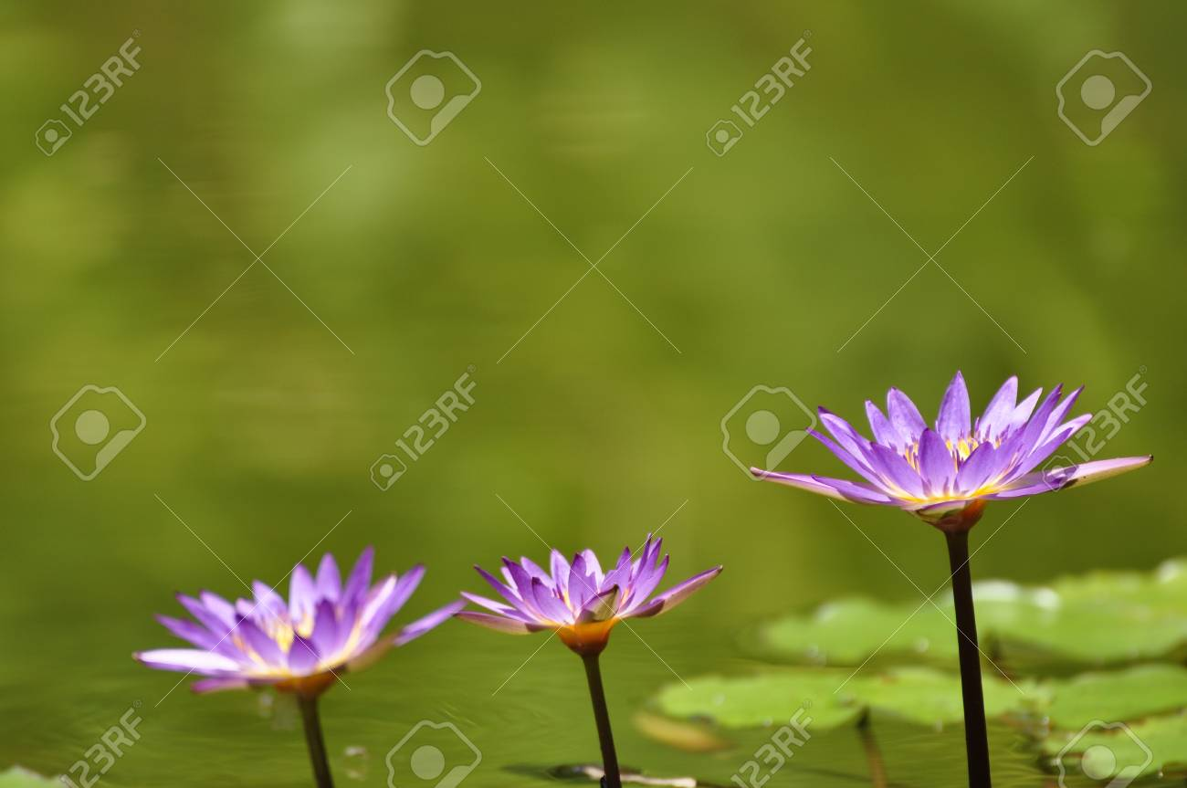 Three lotus flowers in a park in Hue Stock Photo - 8139765