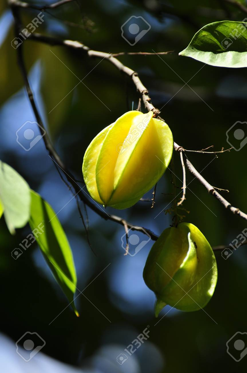 Starfruit in a Tree in Hue Stock Photo - 8139760