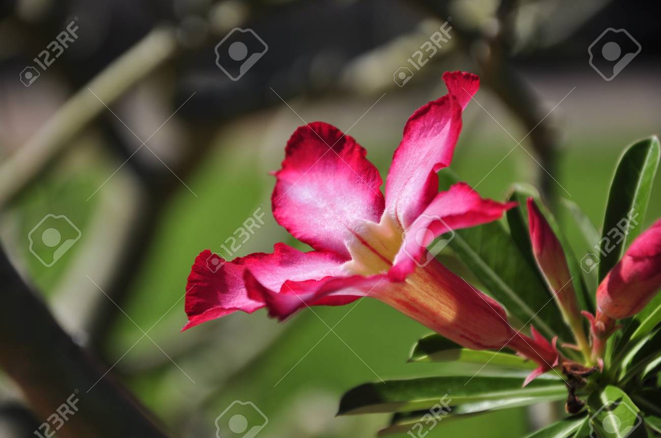 Red Blossom at a resort in Hue, Vietnam Stock Photo - 8139813