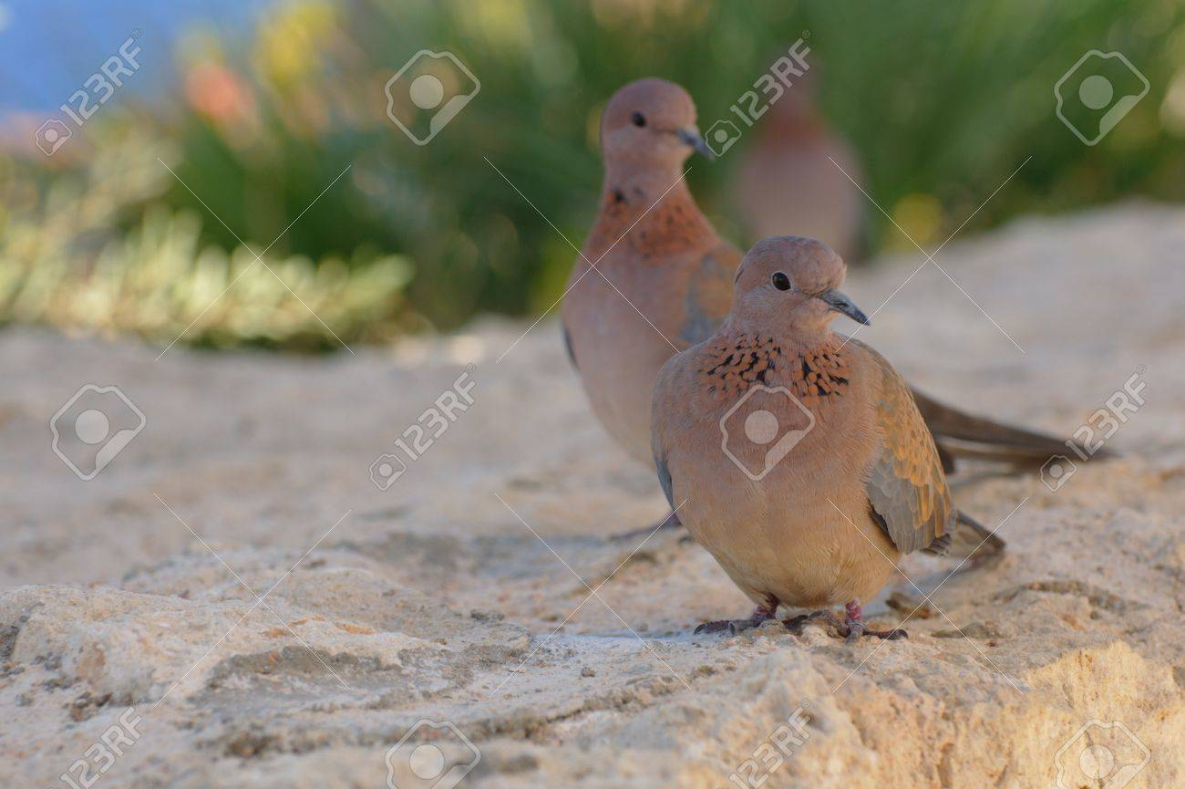 Egyptian pigeons at the beach in Sharm El Sheikh Stock Photo - 9139789