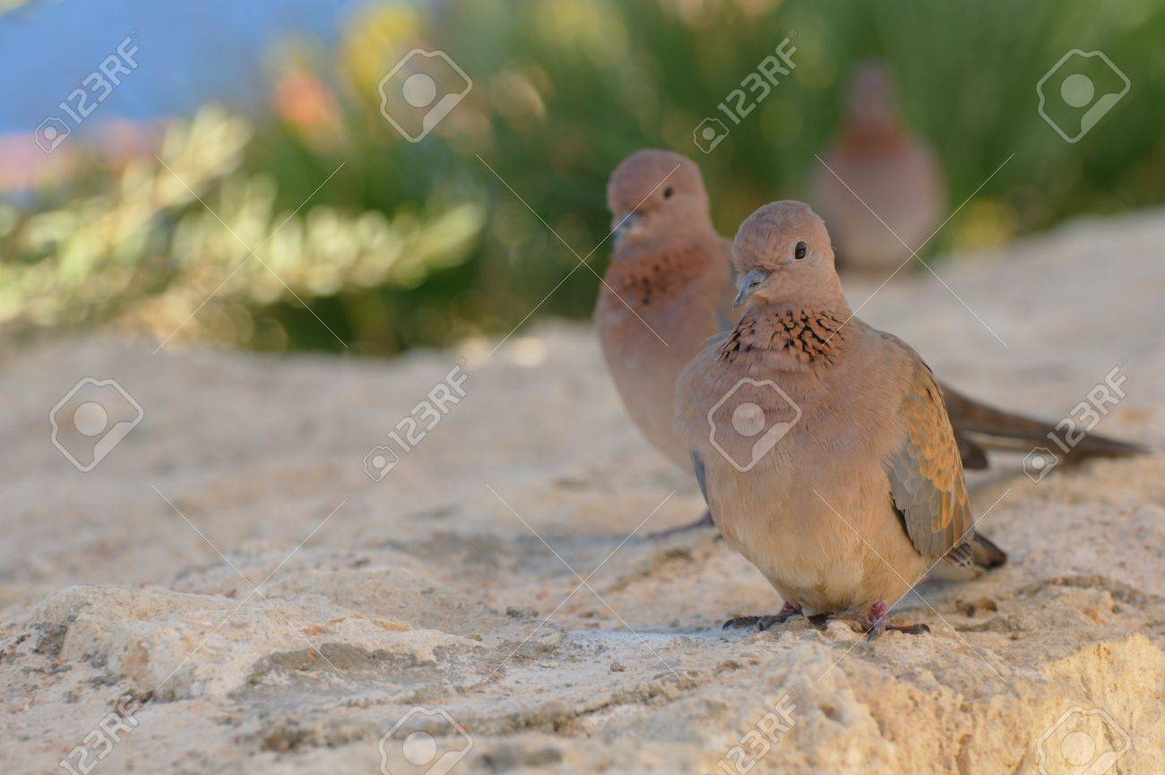 Egyptian pigeons at the beach in Sharm El Sheikh Stock Photo - 9139788