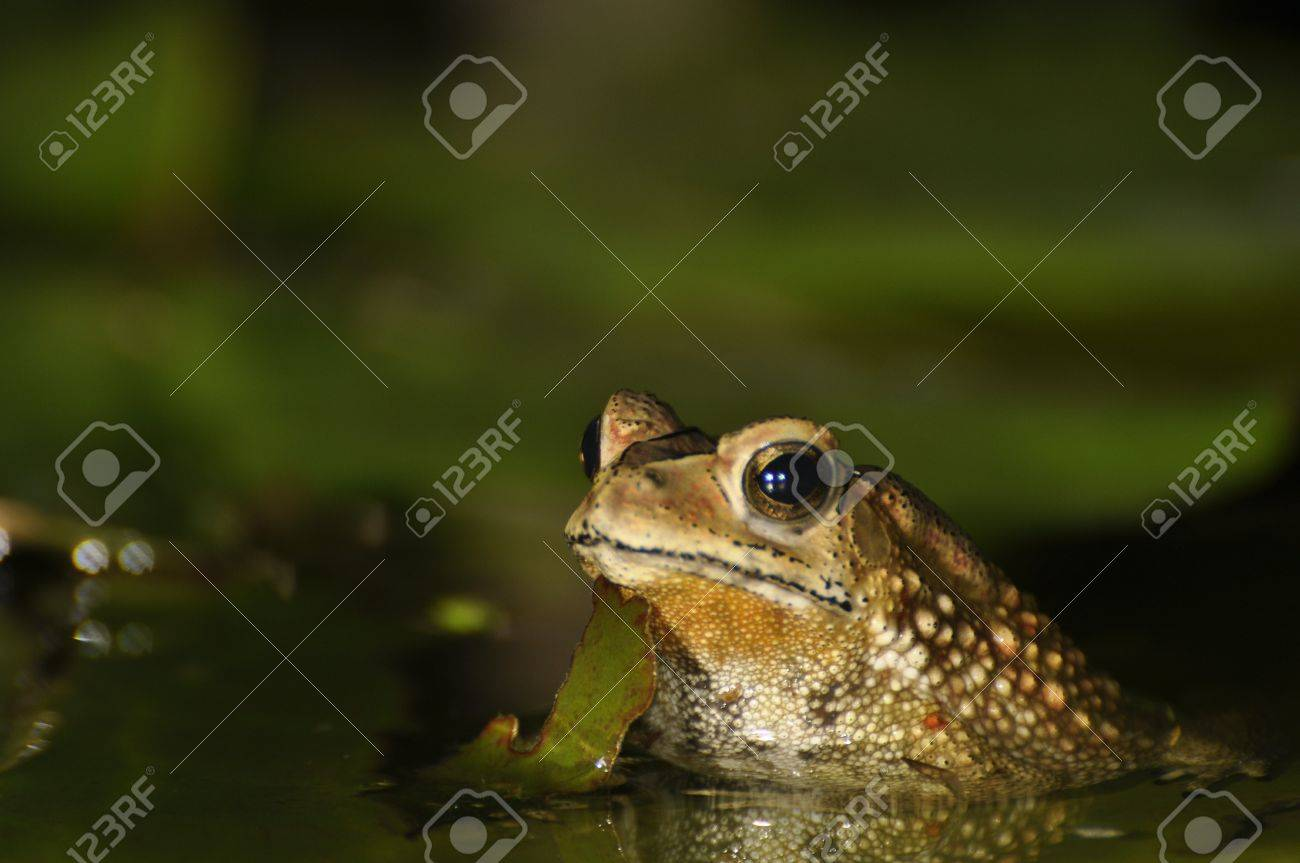 Black Spined Toad appearing in the water of a pond in Chaweng, Koh Samui, Thailand Stock Photo - 10035584