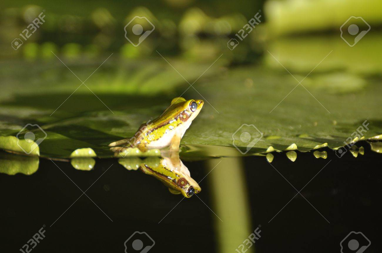 Green Paddy Frog turned away from camera while sitting on a waterlily with reflection in the water at Chaweng, Koh Samui, Thailand Stock Photo - 10035586