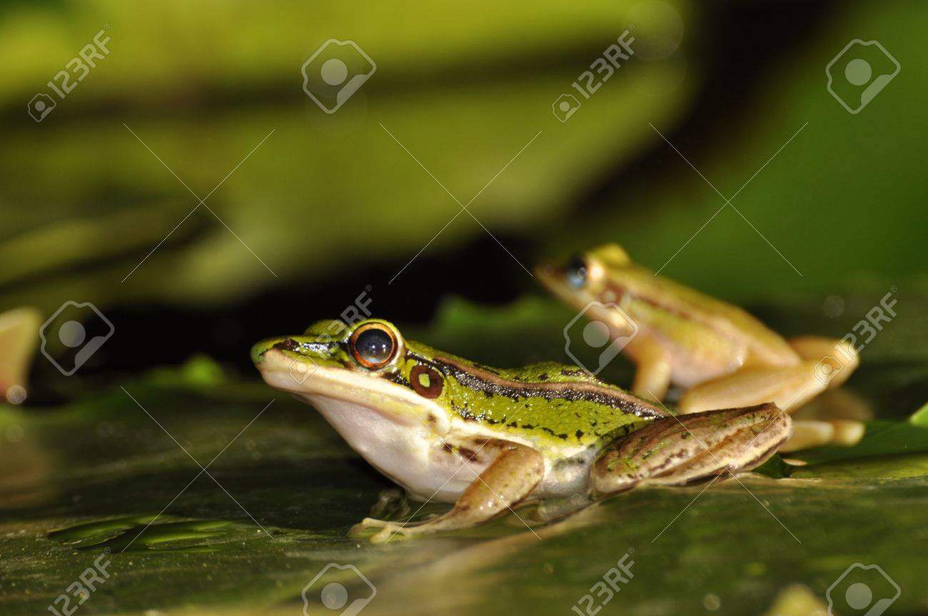 Profile of two Green Paddy Frogs sitting on a waterlily leaf at Chaweng, Koh Samui, Thailand Stock Photo - 10035592
