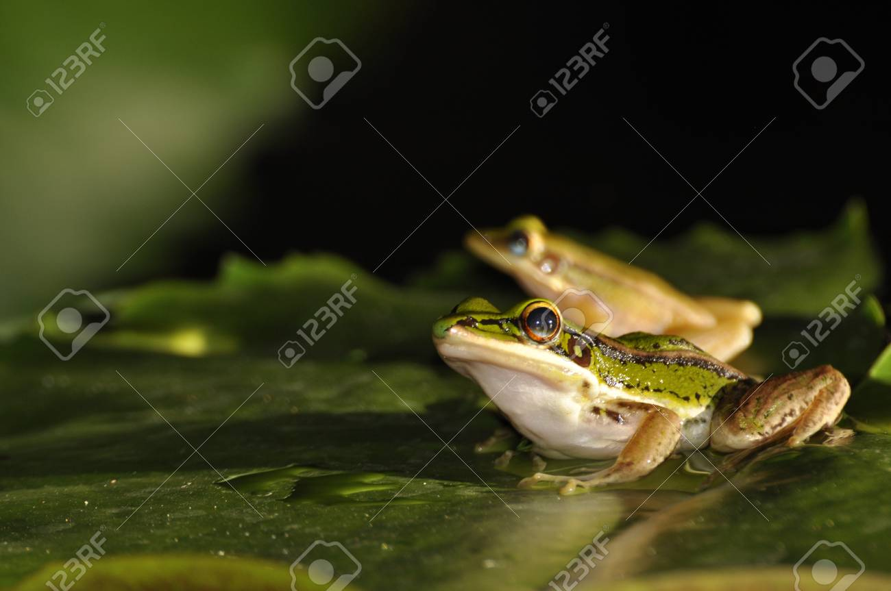 Green Paddy Frog pair sitting on a waterlily leaf at Chaweng, Koh Samui, Thailand Stock Photo - 10035585