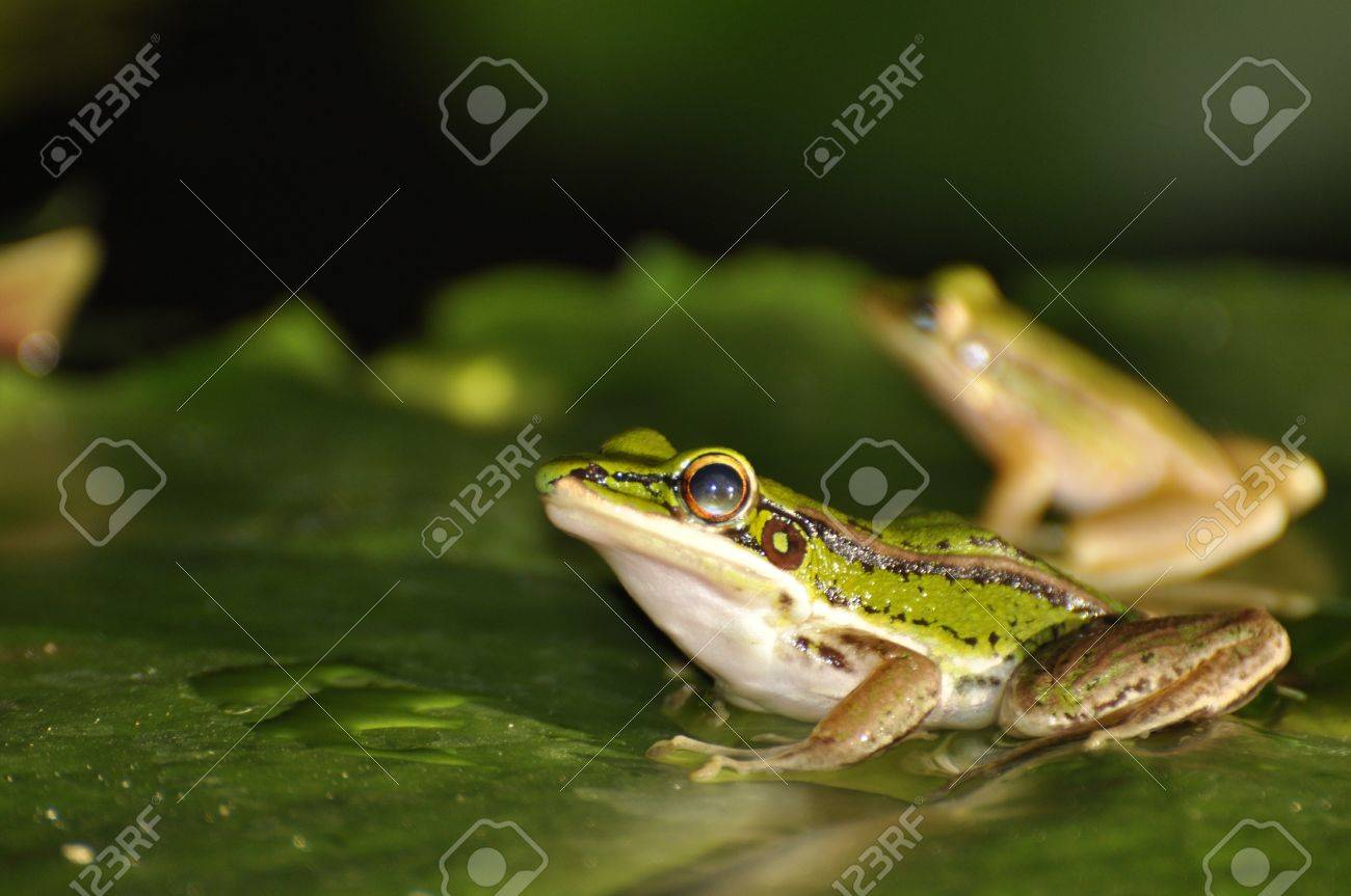Two Green Paddy Frogs sitting on a waterlily leaf at Chaweng, Koh Samui, Thailand Stock Photo - 10035589