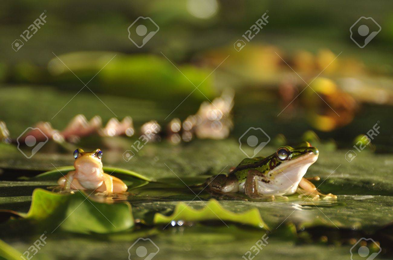 Two different sized Green Paddy Frogs sitting on a waterlily leaf at Chaweng, Koh Samui, Thailand Stock Photo - 10035590