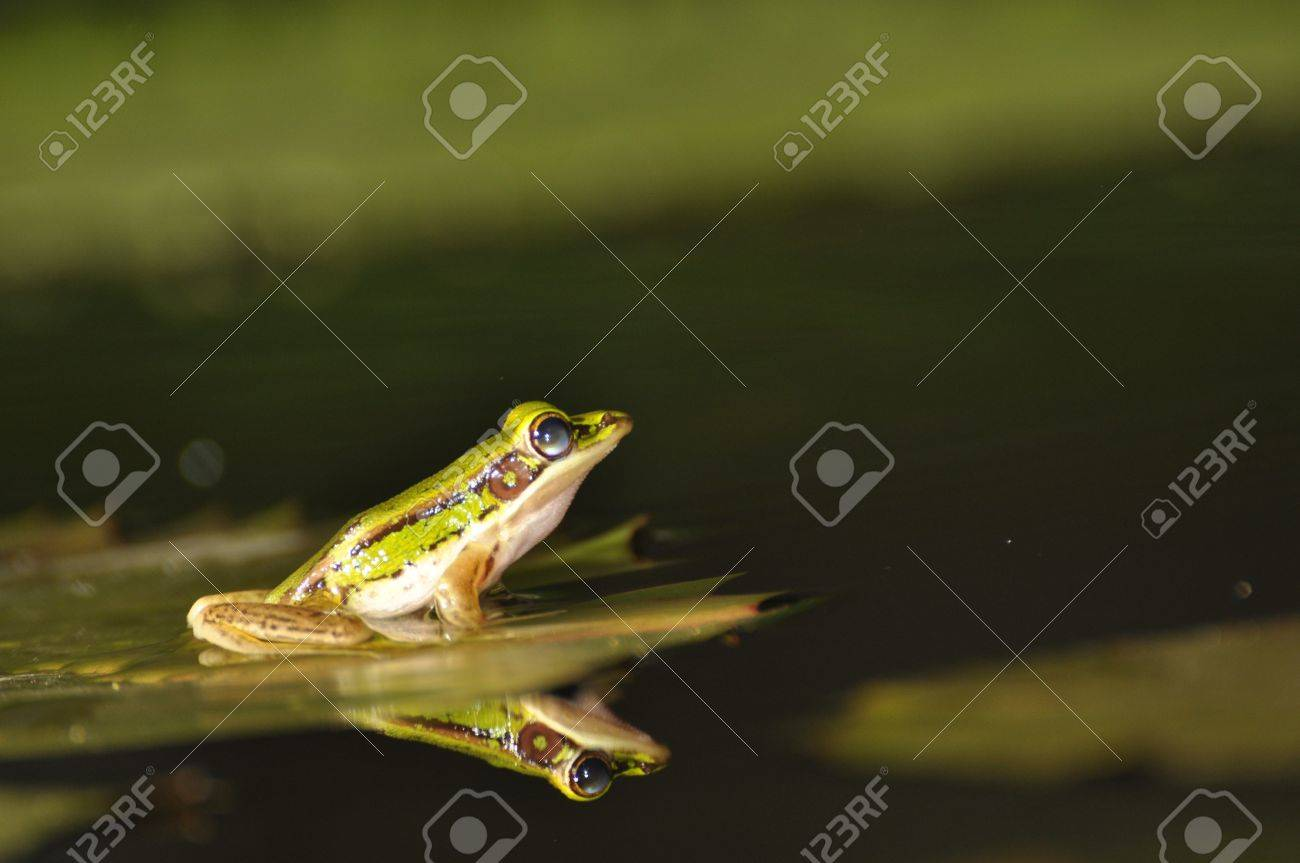 Green Paddy Frogs with mirror in the water at Chaweng, Koh Samui, Thailand Stock Photo - 10035587