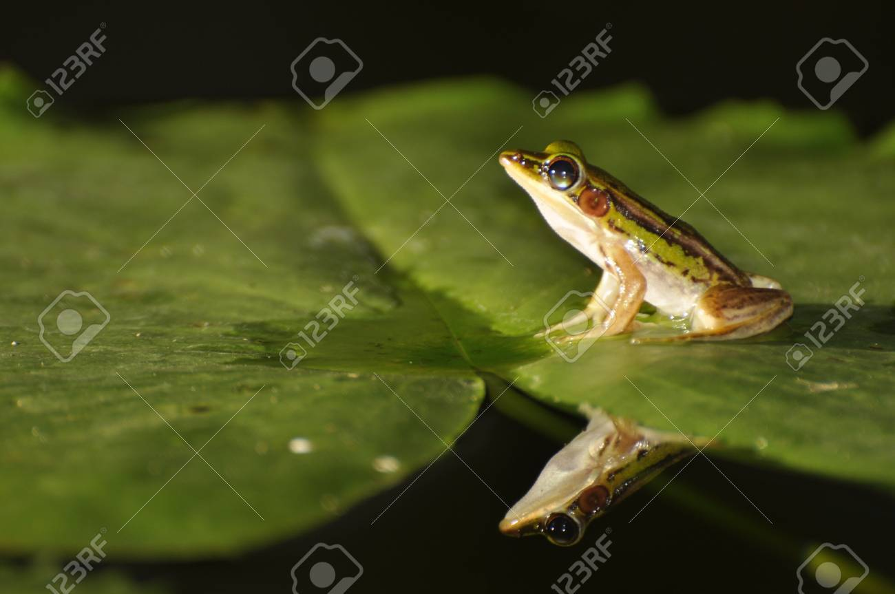 Green Paddy Frog on a waterlily leaf with mirror in the water at Chaweng, Koh Samui, Thailand Stock Photo - 10035582