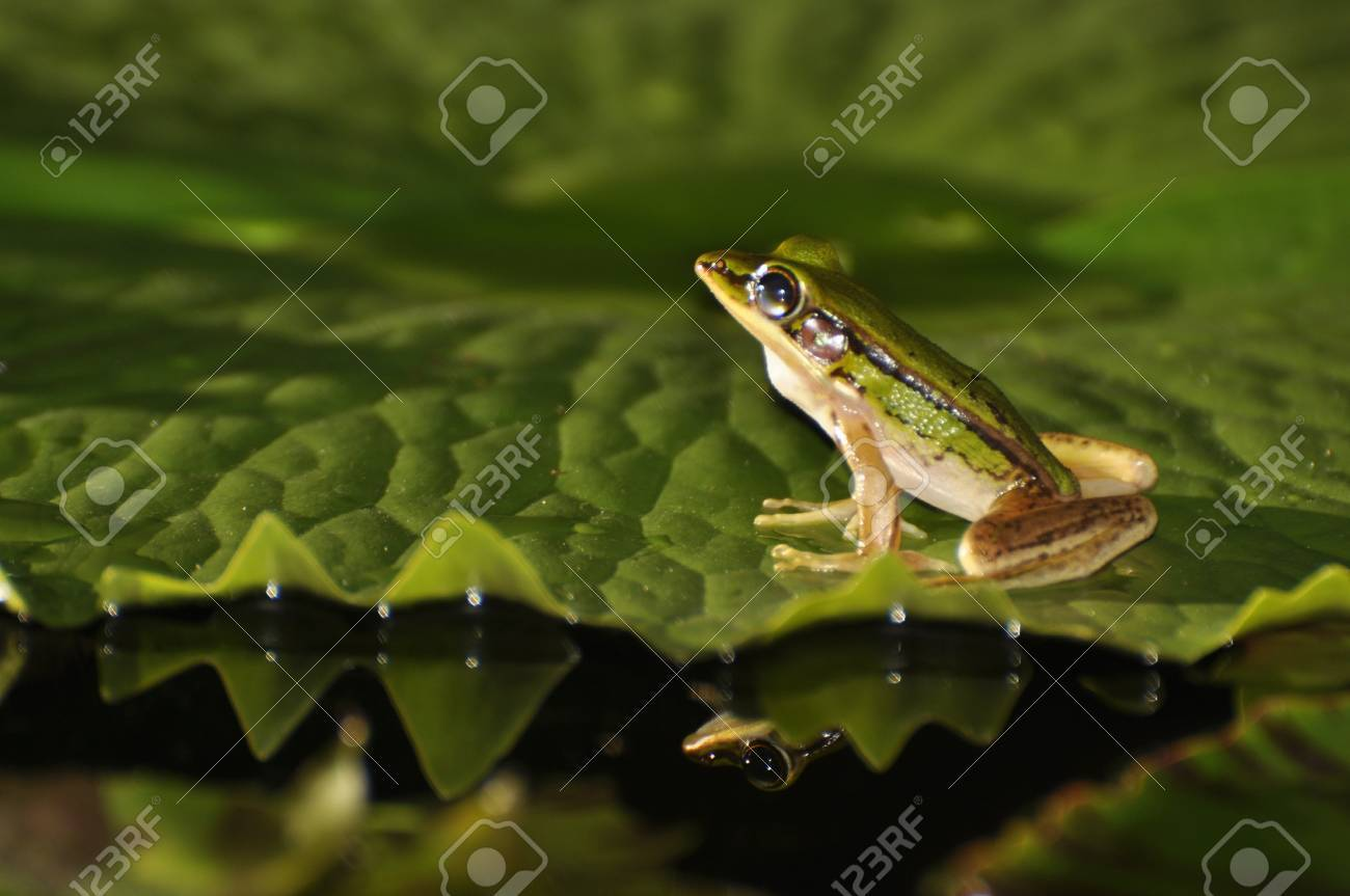 Green Paddy Frog with a glimpse of a mirror shape in the water at Chaweng, Koh Samui, Thailand Stock Photo - 10035588