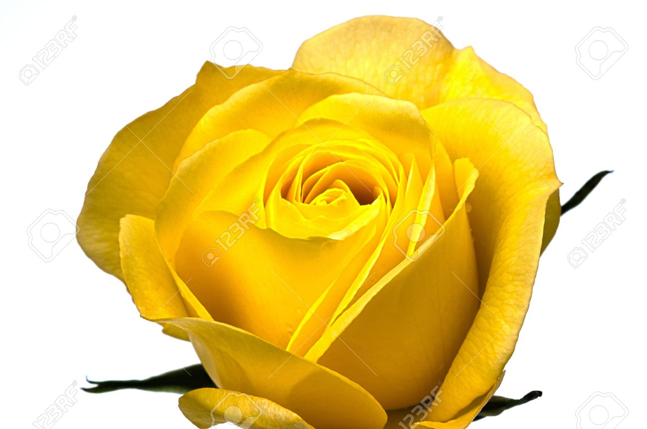 Single Yellow Rose On A White Background Stock Photo Picture And