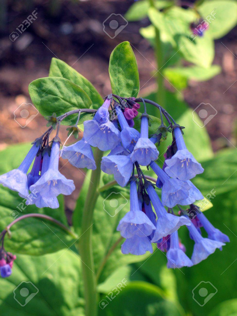 Close-up Of Blue Bell Shaped Flowers Stock Photo, Picture And ...