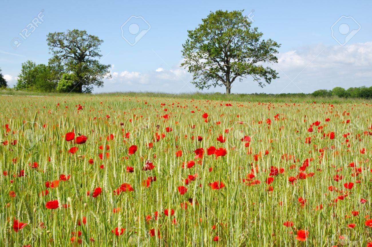 Poppy and corn field Stock Photo - 14087241