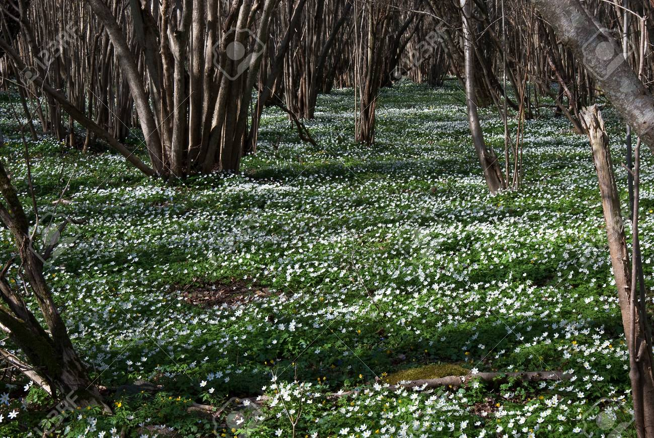 Carpet of wood anemones Stock Photo - 17275316