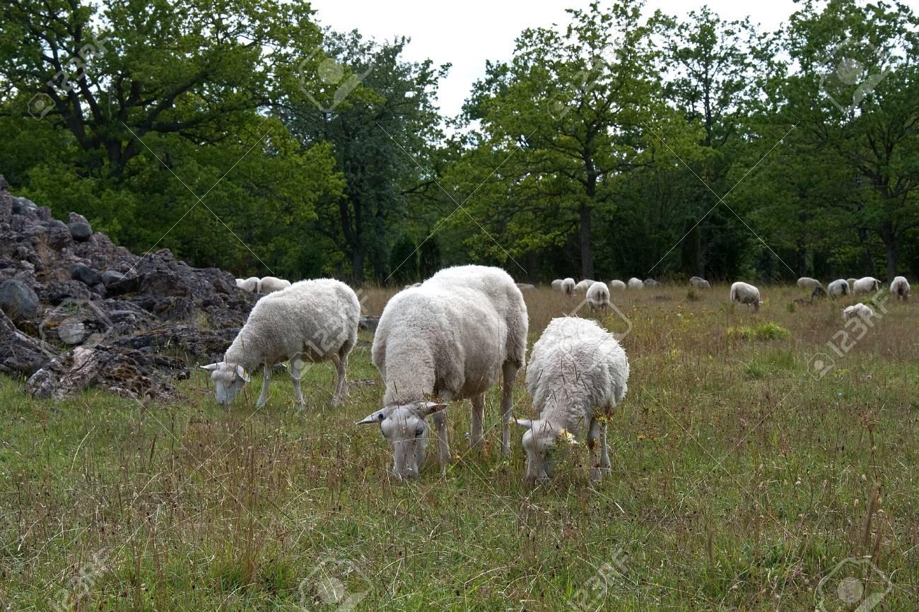 Grazing sheep Stock Photo - 17275263
