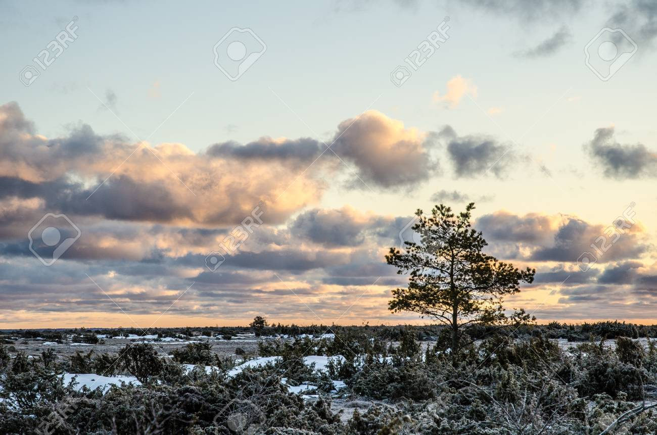 A pine tree at sunrise a frosty morning in the Great Alvar Plain, an unique landscape on the island Oland in Sweden Stock Photo - 18819635