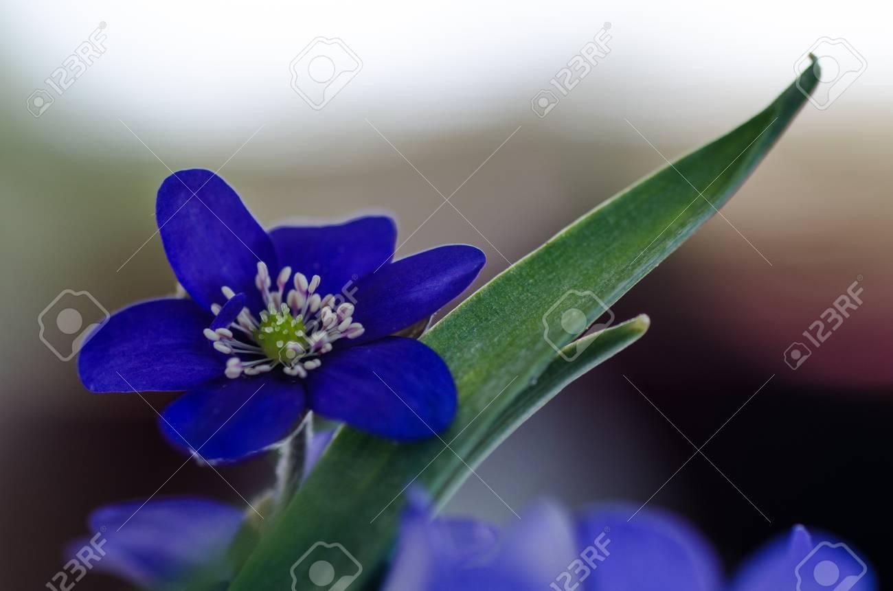 Closeup of a Common Hepatica, a symbol for springtime Stock Photo - 19209780