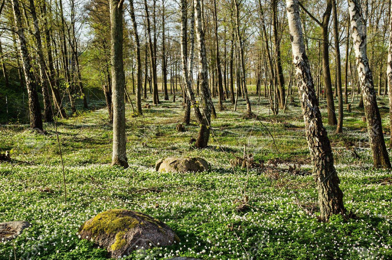 Swedish forest on the island Oland with wood anemones blossom Stock Photo - 19605794