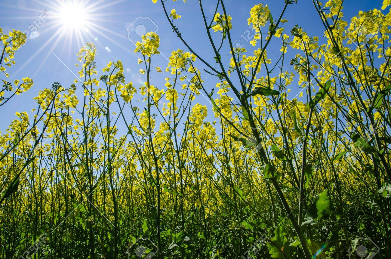 View from ground level in a rape field at a blue sky and shining sun Stock Photo - 20239464