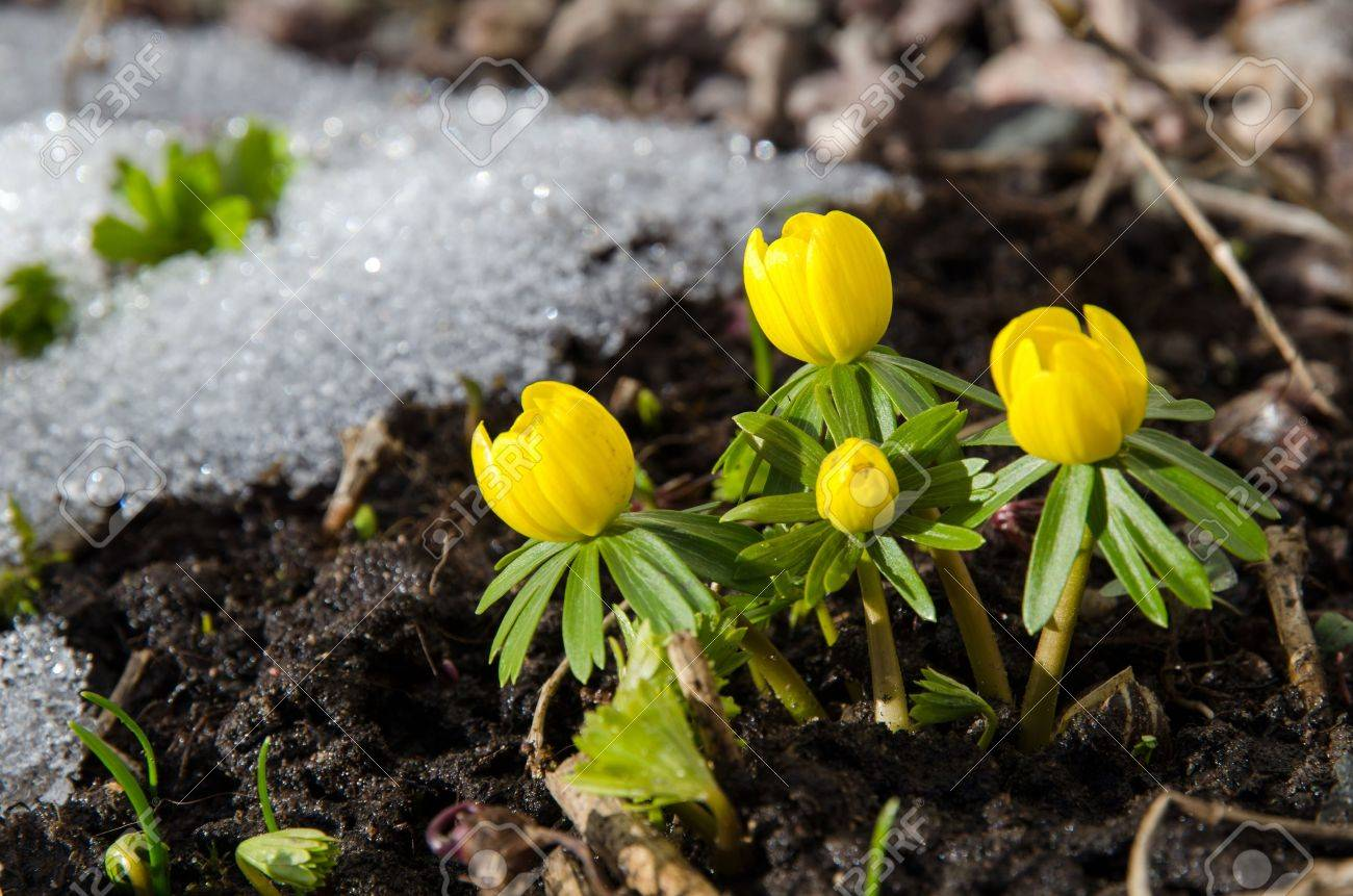 Early Winter aconite in a garden at melting snow Stock Photo - 21896467