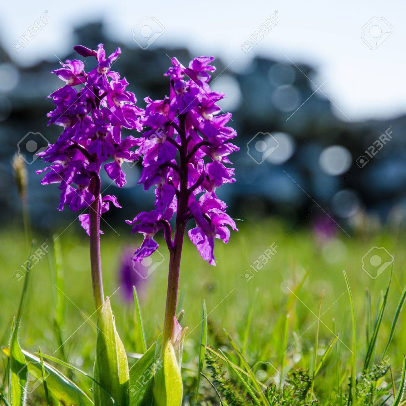 Wild orchids - springtime symbols  From the island Oland in Sweden Stock Photo - 22172950