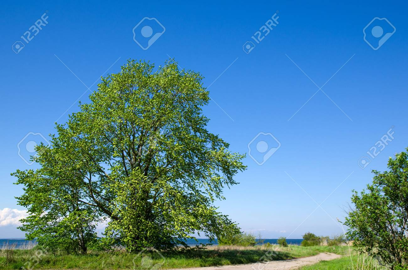 Big, wide tree by roadside at the coast of the Baltic Sea on the island Oland in Sweden Stock Photo - 22522375