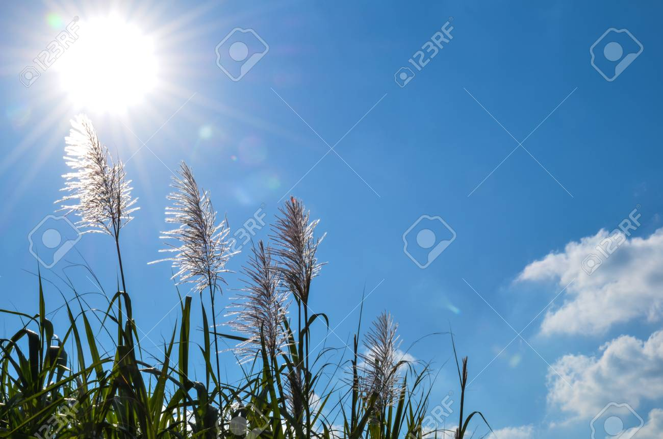 Sun over sugar cane flowers and blue sky at Okinawa in Japan Stock Photo - 24729116