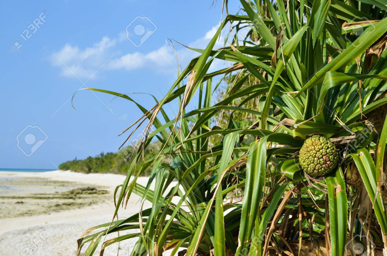 The tropical fruit adan at the beach of the japanese island Taketomi Stock Photo - 25108403