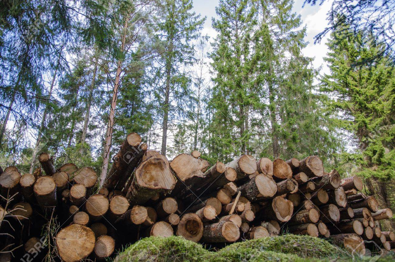 Low angle photo of a logpile in a coniferous forest Stock Photo - 27541273