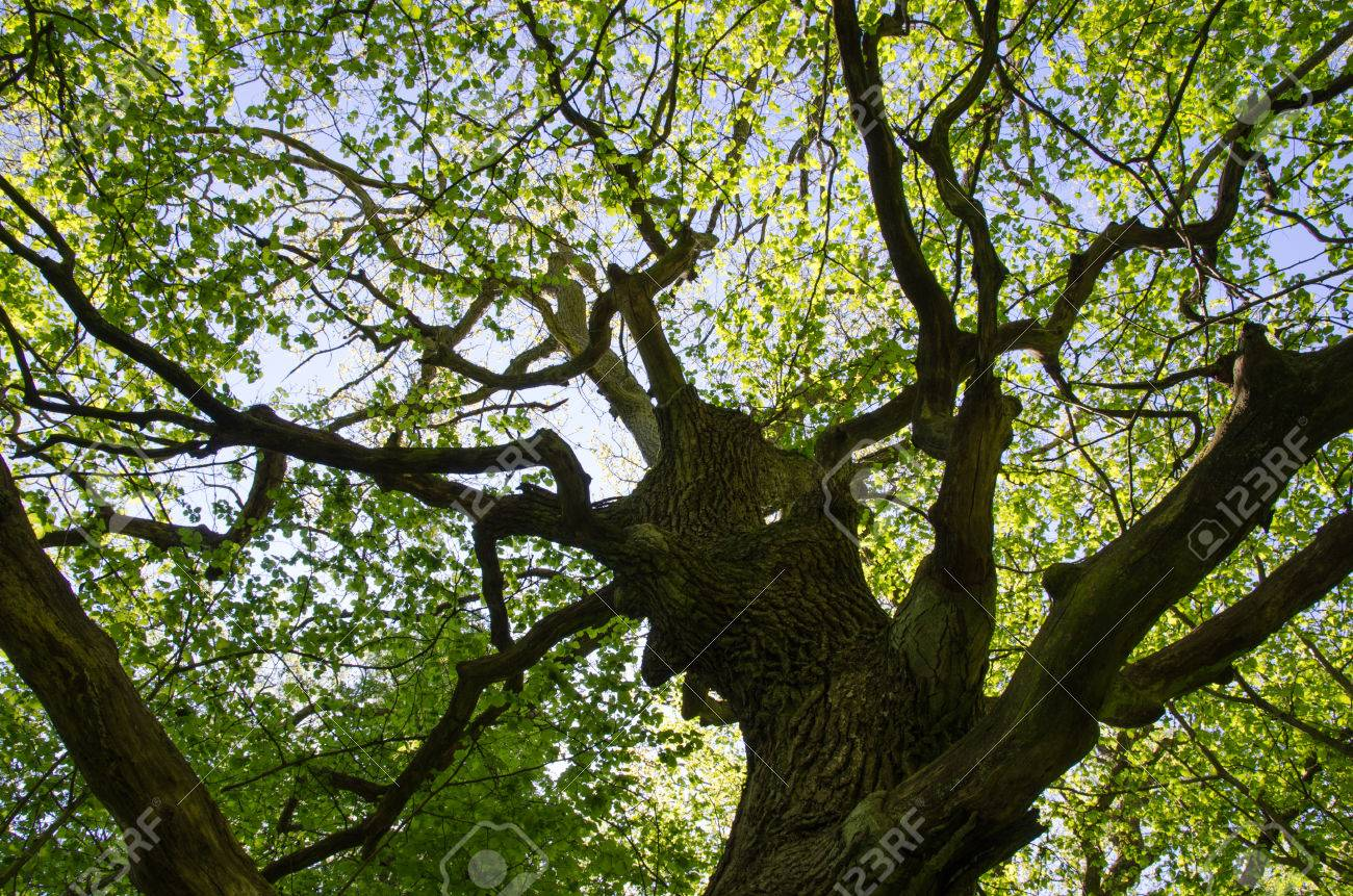An old oak tree trunk with fresh green leaves at spring Stock Photo - 40903696
