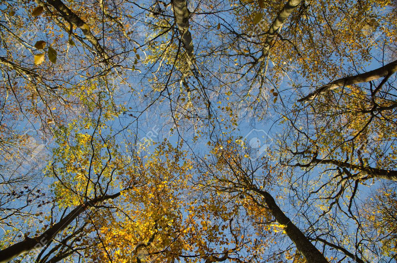 Glorious Fall In This Season Of >> Bright Glorious Beech Tree Tops By A Blue Sky At Fall Season Stock